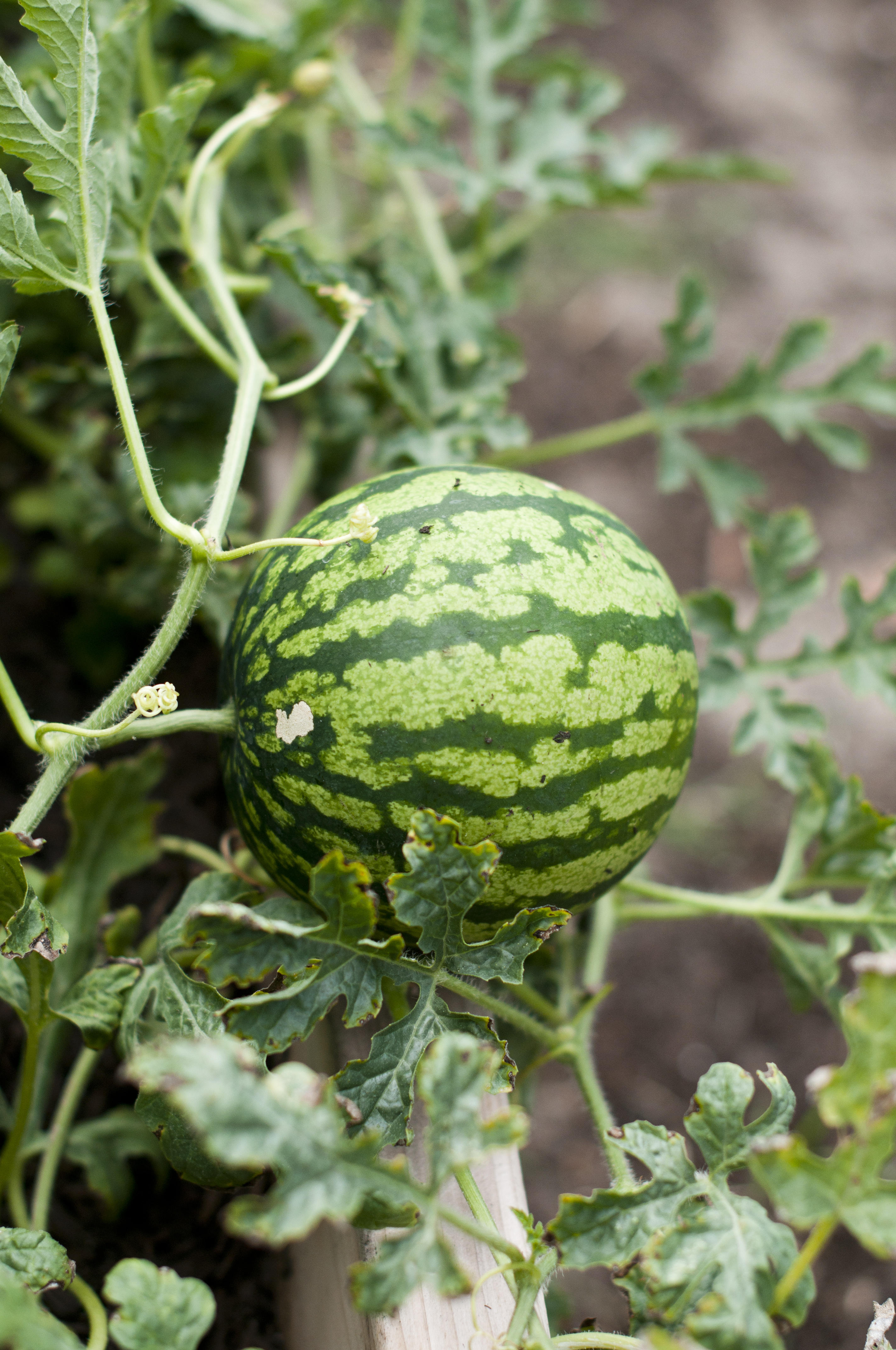 Spotlight edible of the day watermelon home grown edible landscapes mornings nvjuhfo Choice Image