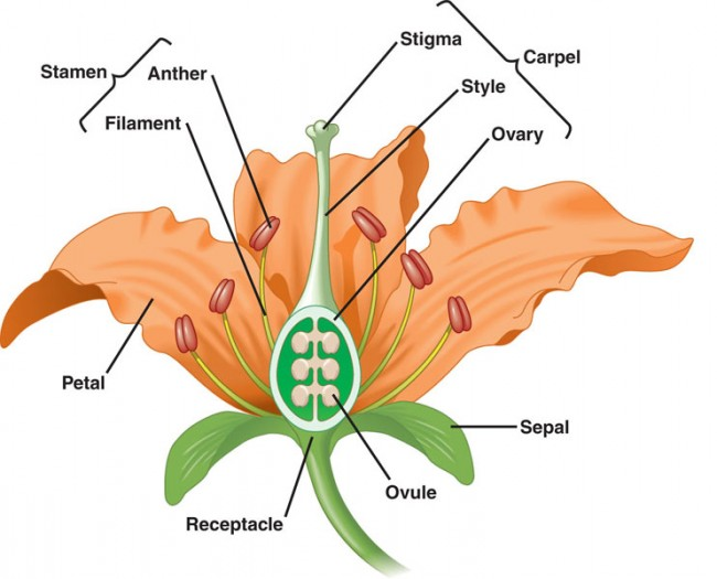 Your gardens legacy seed harvesting and saving home grown edible reproductive parts of a flower male stamen including the anther and filament female pistil including the stigma style and ovary mightylinksfo