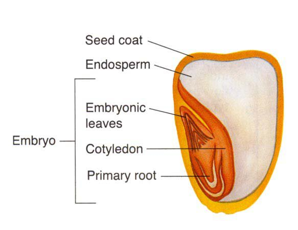 Corn Plant Diagram Corn Seed Diagram