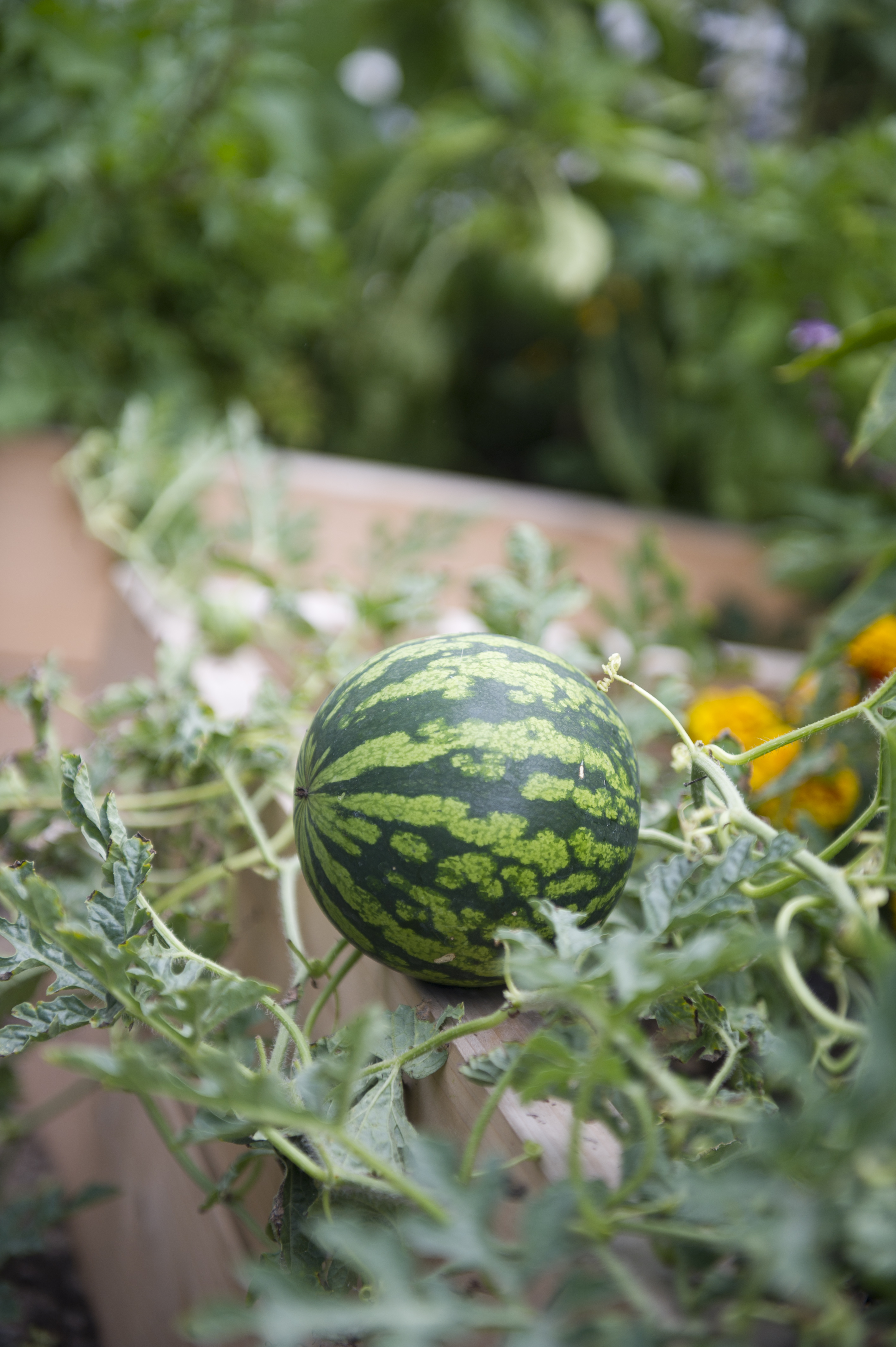 Spotlight edible of the day watermelon home grown edible landscapes fertilizing watermelon nvjuhfo Choice Image