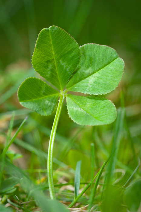 Looking over the Four Leaf Clover! « Home Grown Edible